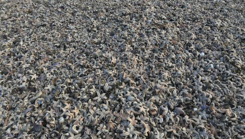 На берег Кента выбросило десятки тысяч морских звезд