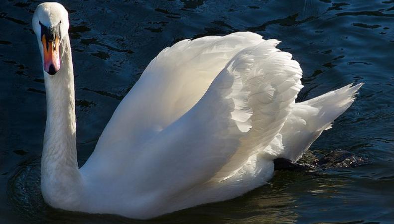В Англии начинается инвентаризация лебедей фото:royalcentral