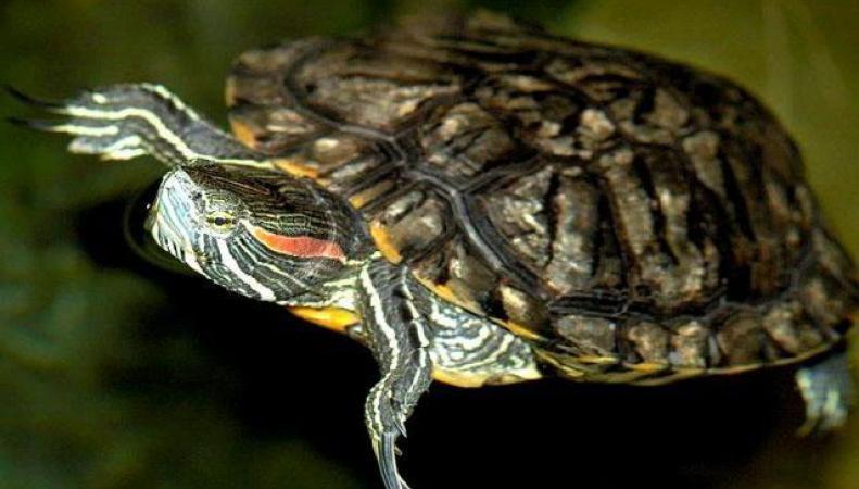 Британцев просят прекратить смывать черепах в канализацию
