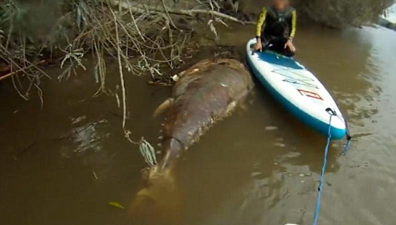 В реке Северн обнаружен заблудившийся океанский тунец фото:dailymail.co.uk