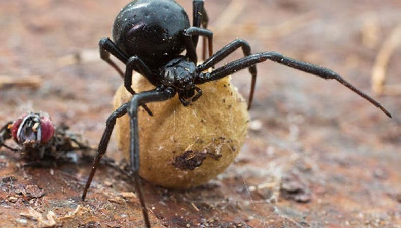 Один из самых ядовитых пауков в мире