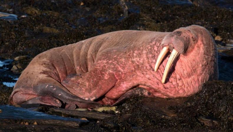 В водах Шотландии заметили арктического моржа