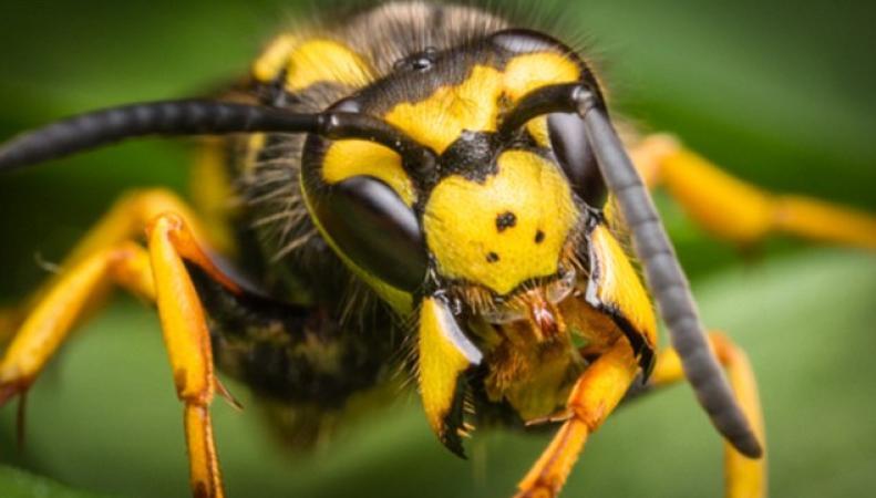 Британцам докучают «пьяные и агрессивные» осы