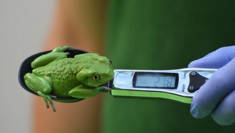 лягушка на весах