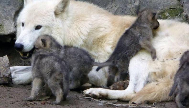 Гудзонские волчата родились в парке дикой природы Девона