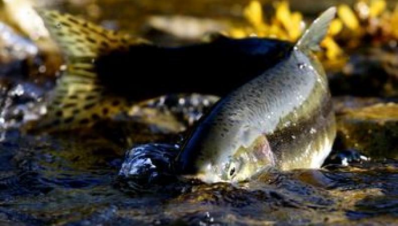 Горбуша угрожает британскому лососю