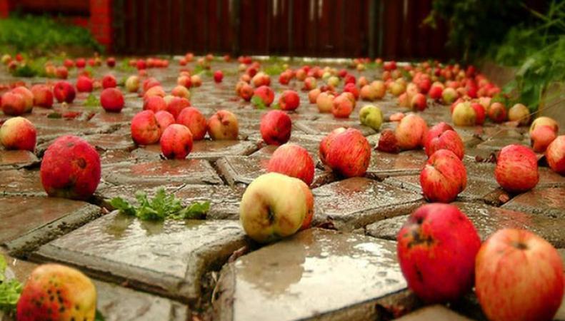 Брошенные яблоки