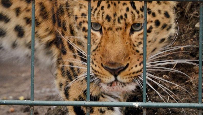 Леопард, зоопарк