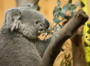 В Эдинбург рейсом из Германии прибыл австралийский коала